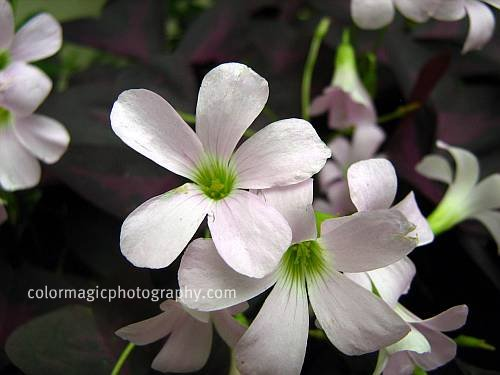 Purple Shamrock close up-Oxalis triangularis