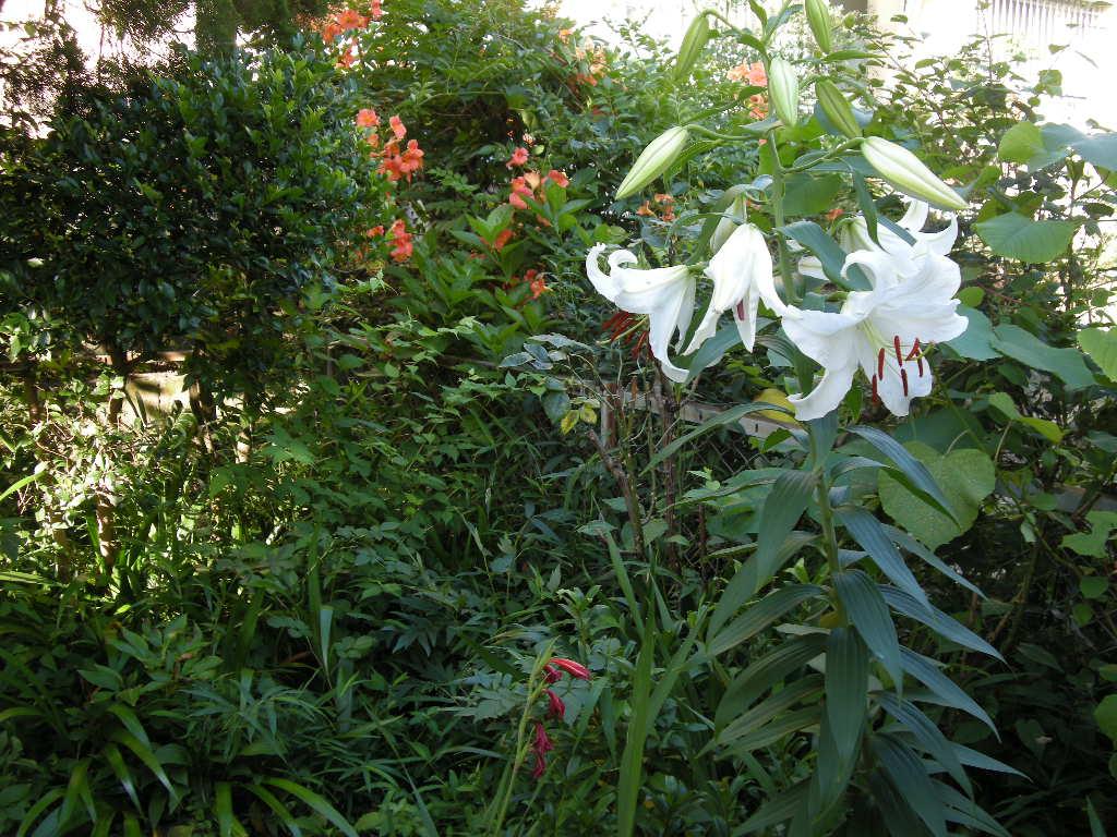 カサブランカ (植物)の画像 p1_9