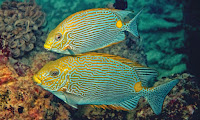 http://sciencythoughts.blogspot.co.uk/2014/06/a-new-species-of-rabbitfish-from.html