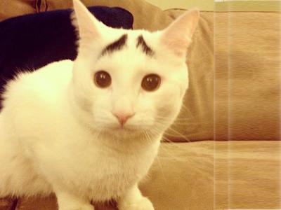 Foto samhaseyebrows, kucing yang memiliki alis 01