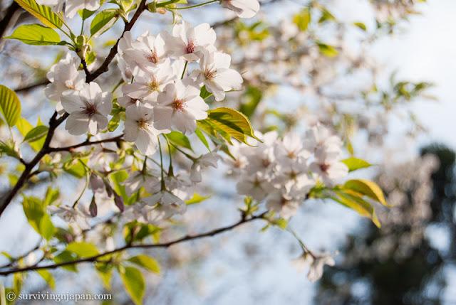 sakura, cherry blossom, Japan, spring, hanami