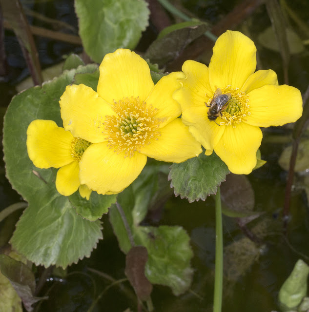 Bee on a Marsh Marigold, Caltha palustris, in the pond in Spring Park, 24 April 2013.