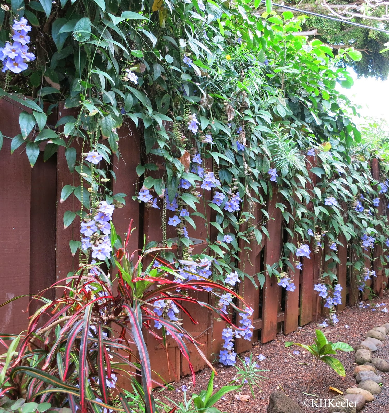 the back fence at 17 Palms, Kauai