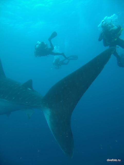 Хвост китовой акулы и дайверы фото