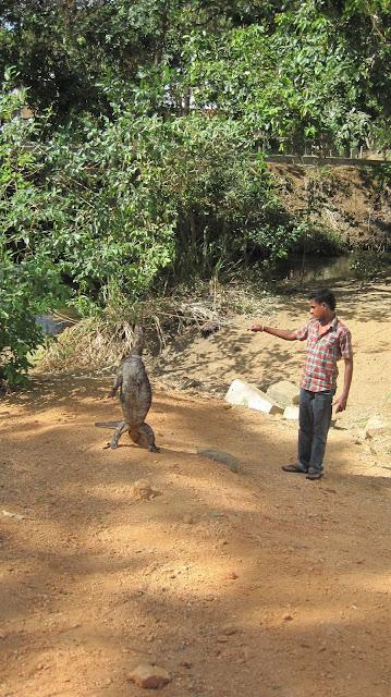 Varano en Sri Lanka