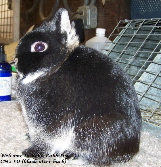 Reko Rabbitry - House of superior quality Netherland Dwarfs.
