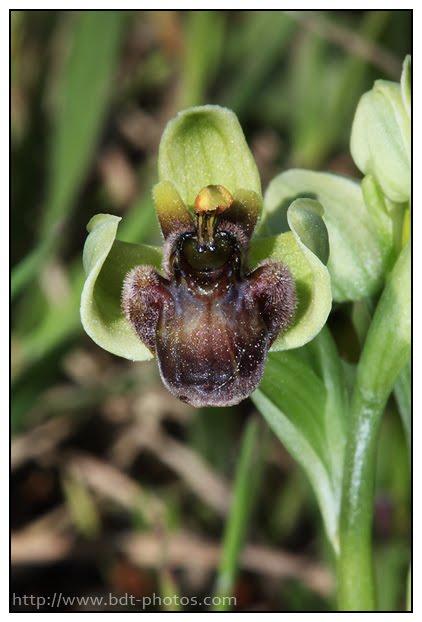 Ophrys bombyliflora Ophrys-bombyx-%25284%2529