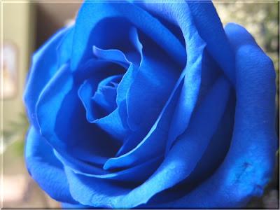 jual bunga mawar biru Blue Roses