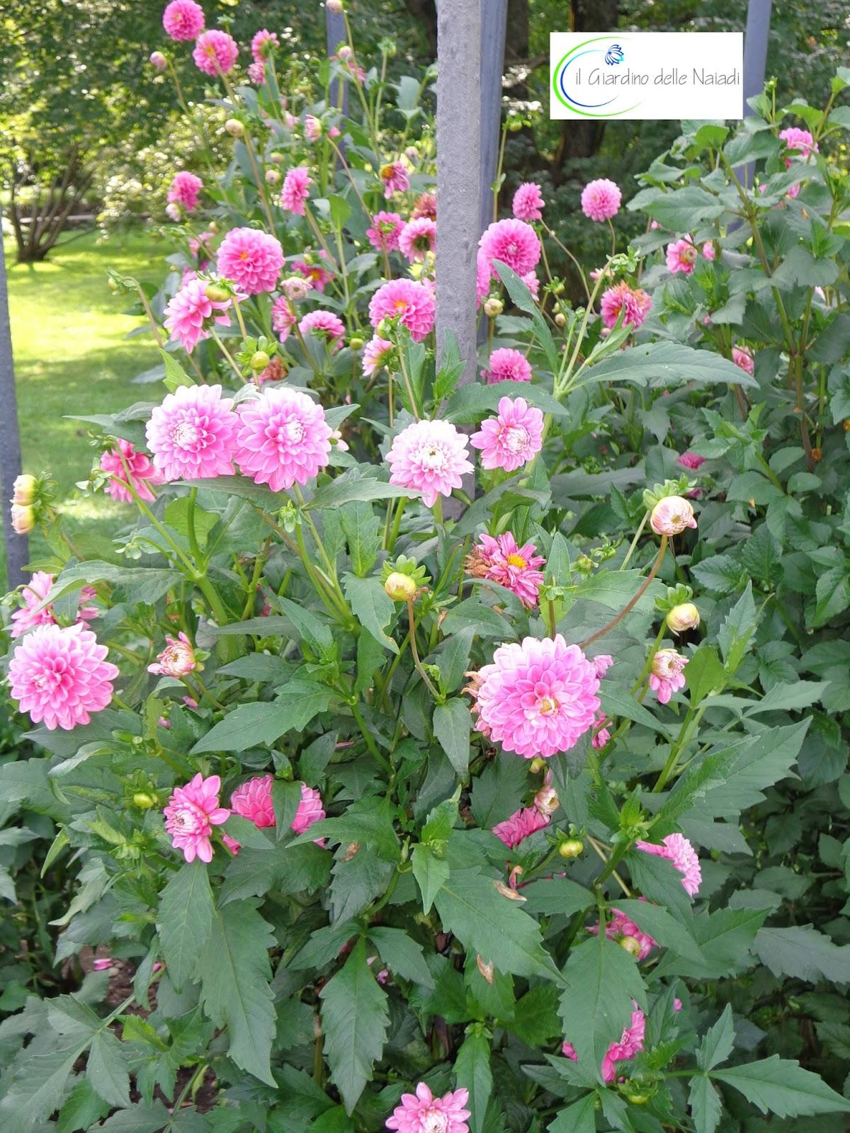Il giardino delle naiadi dalie fioriture speciali a for Dalie giganti