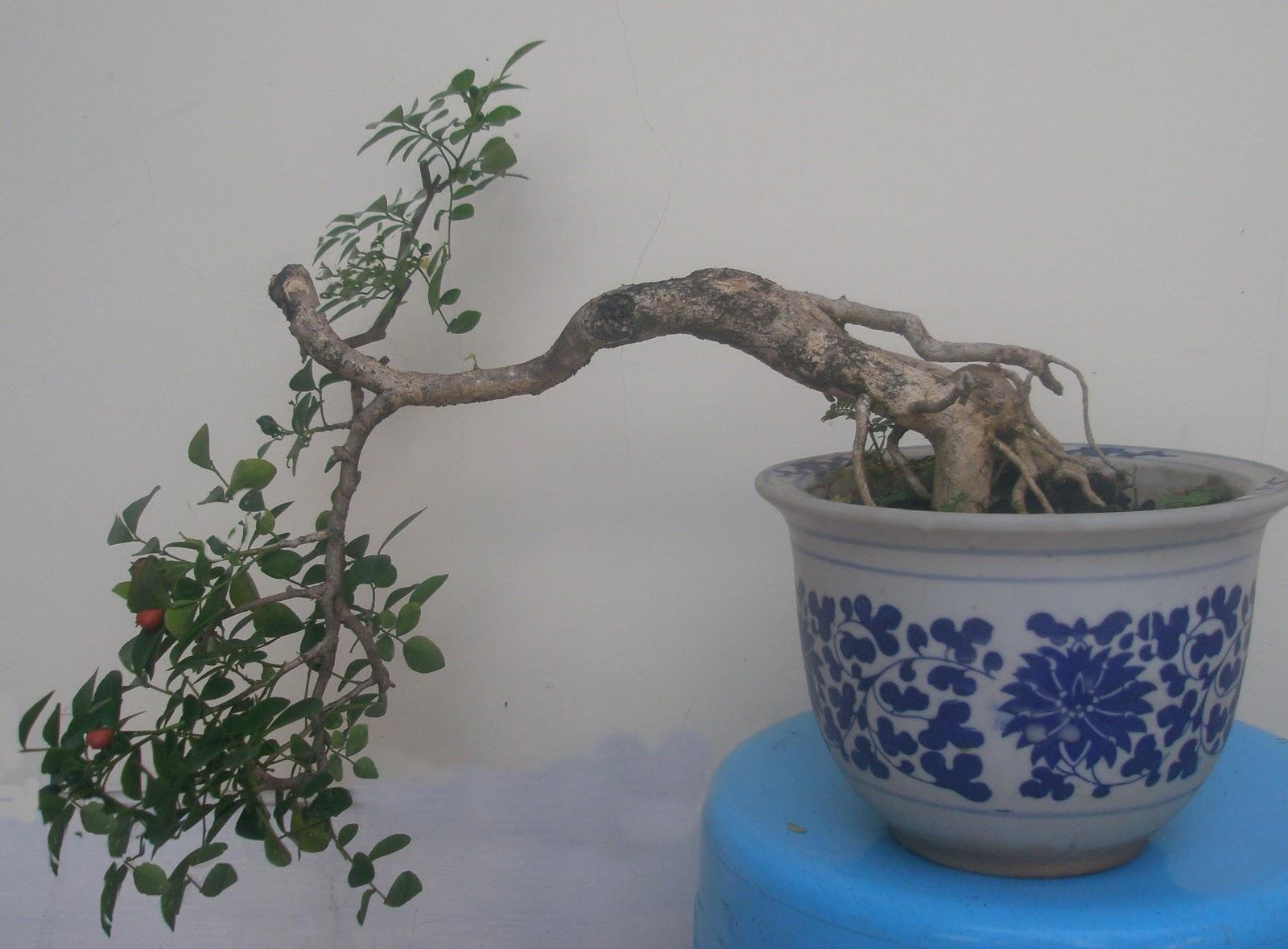 Art Hrbonsai Kemuning Murraya Paniculata