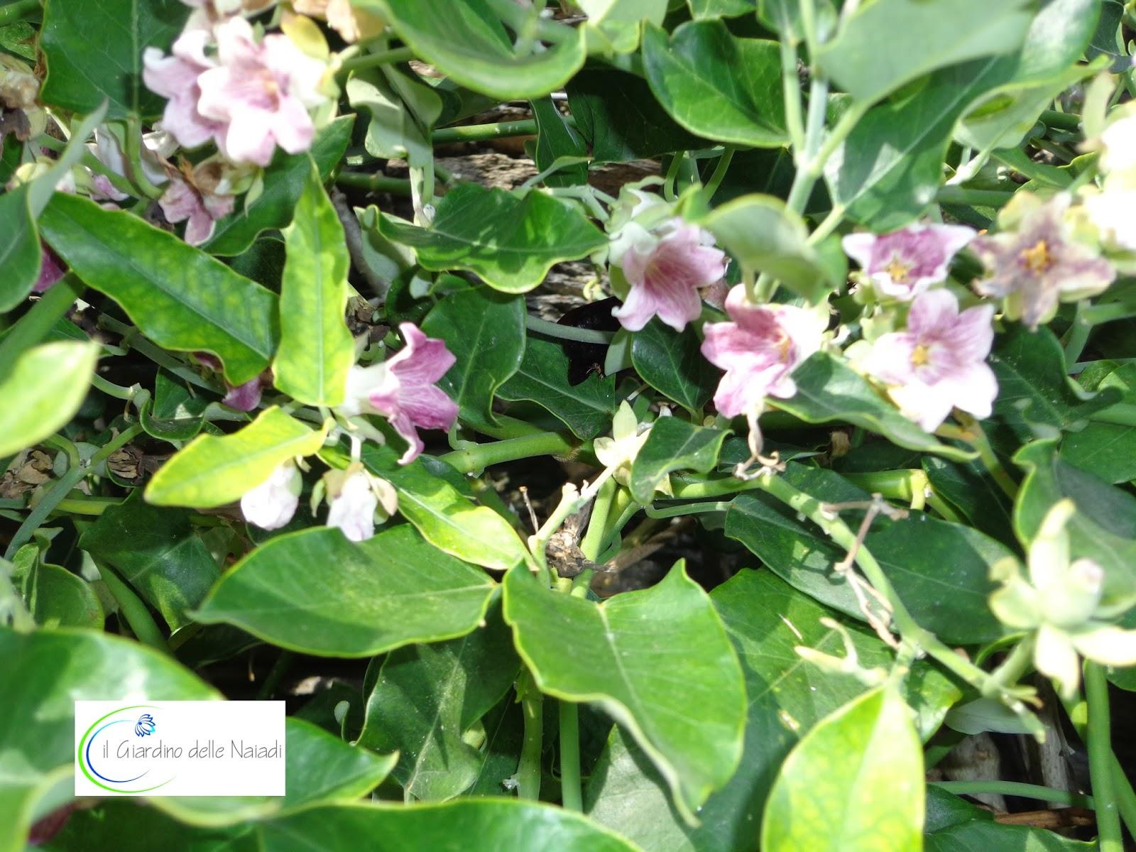 Sempreverde con fiori bianchi of37 regardsdefemmes for Pianta rampicante sempreverde