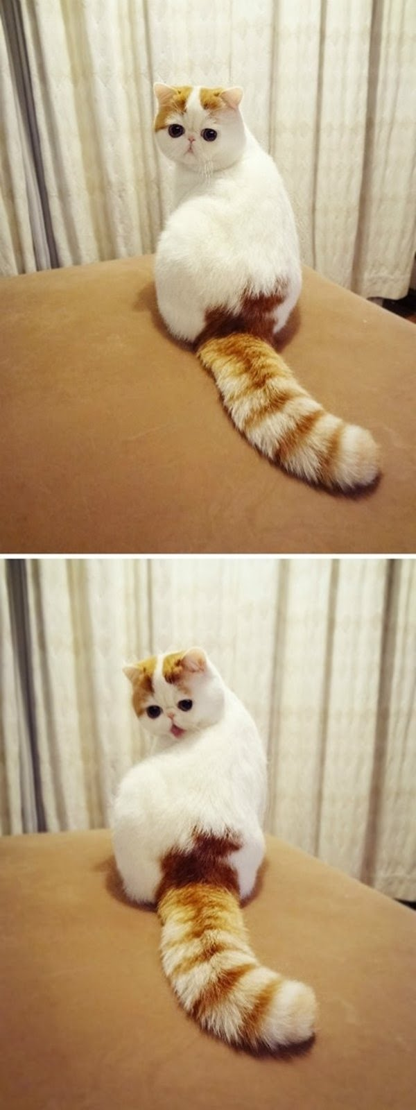 funny cat pictures, cute cat with big tail