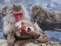Di Tempat Ini Monyet Berendam Air Panas dengan Nyaman