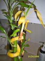 Bamboo Leaves Turning Yellow1