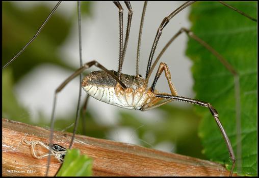 the home bug garden a long reach daddy long legs aka harvestmen. Black Bedroom Furniture Sets. Home Design Ideas