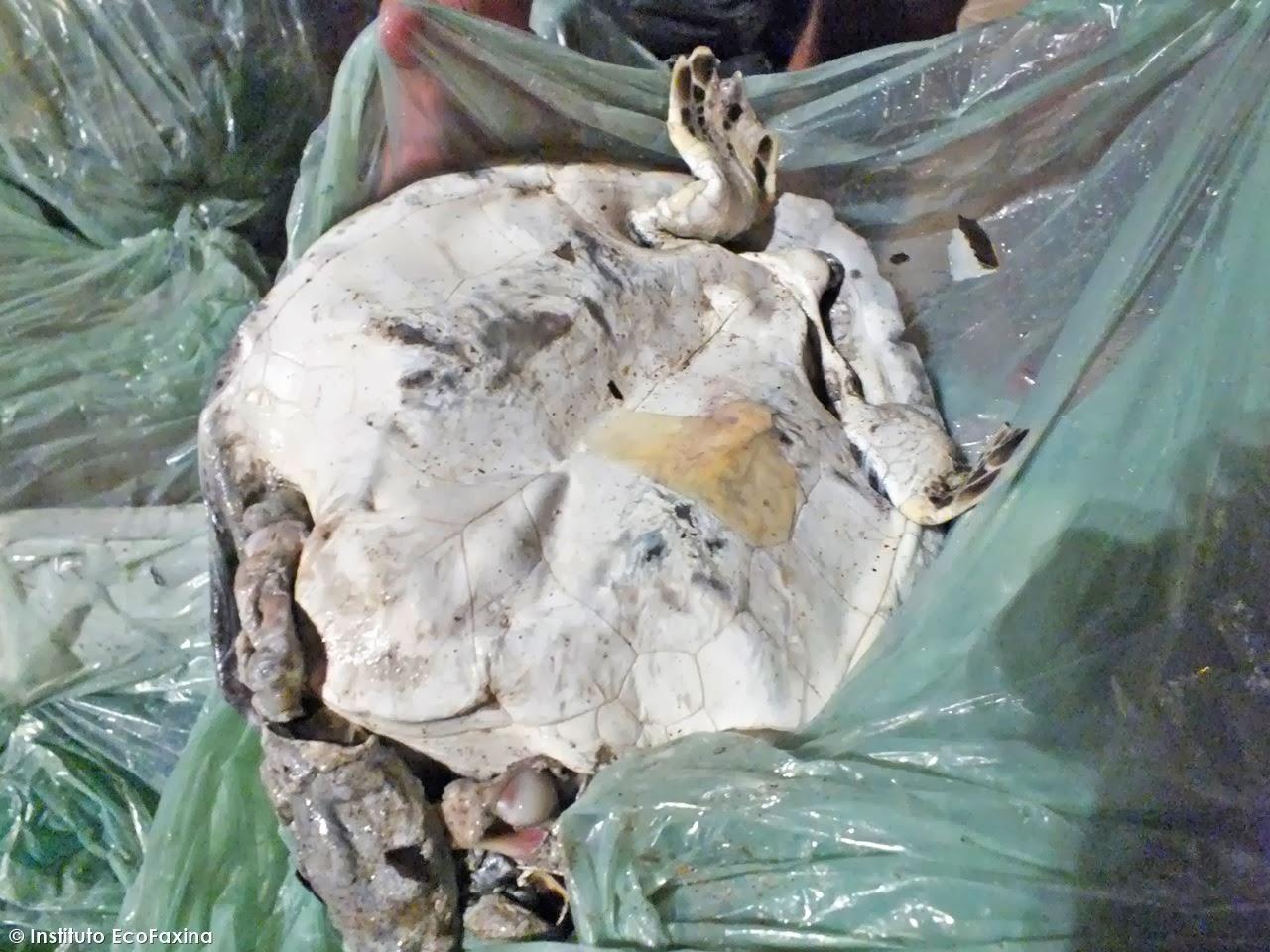 Além da enorme quantidade de lixo, um filhote morto de tartaruga-verde (Chelonia mydas), encontrado no Saco do Major, também nos deixou os alunos e diretores da ONG bastante tristes. Na ocasião estavam sem os instrumentos necessários e infelizmente não foi possível realizar a necropsia. Mas é bem provável que seja mais uma vítima do plástico. Tartarugas marinhas confundem plástico com alimentos. Crédito: Instituto EcoFaxina