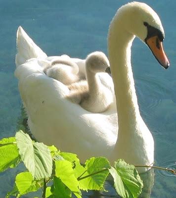 Cisne hembra con sus crías en la espalda