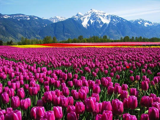 Most beautiful and best flower fields in the world