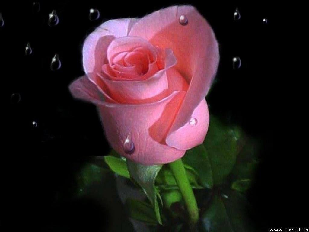 PINK ROSE UNDERWATER .....!!!