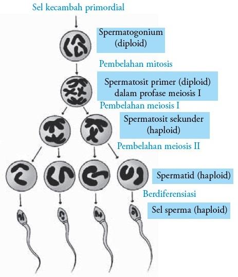 Proses dan organ alat reproduksi pada pria laki laki spermatogenesis proses pembentukan sperma manusia ccuart Image collections