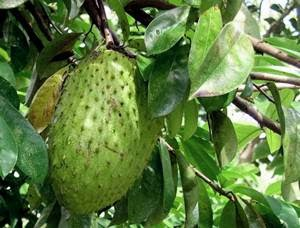 soursop and cancer