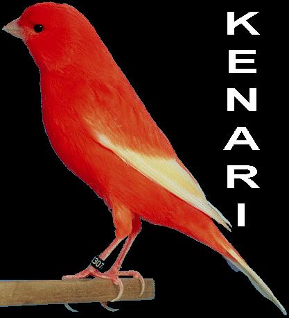 jenis kelamin burung kenari ciri kenari jantan burung kenari    Jenis Burung Kenari