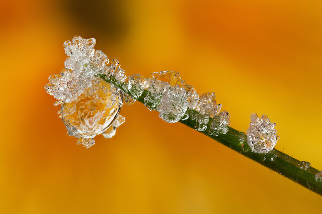 FROSTED+DEWDROP+2012++%25233.jpg