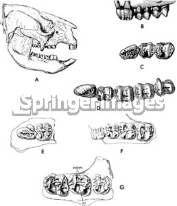 Sthenurus skull