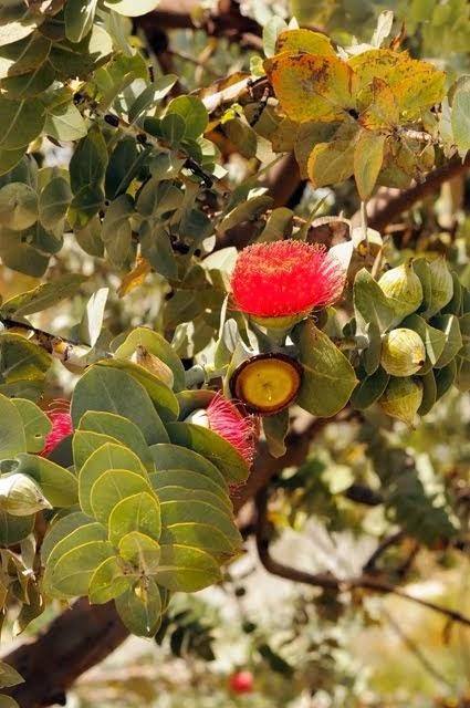 Mottlecah - Eucalyptus macrocarpa 037
