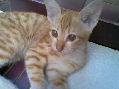 Foto kucing berbulu orange