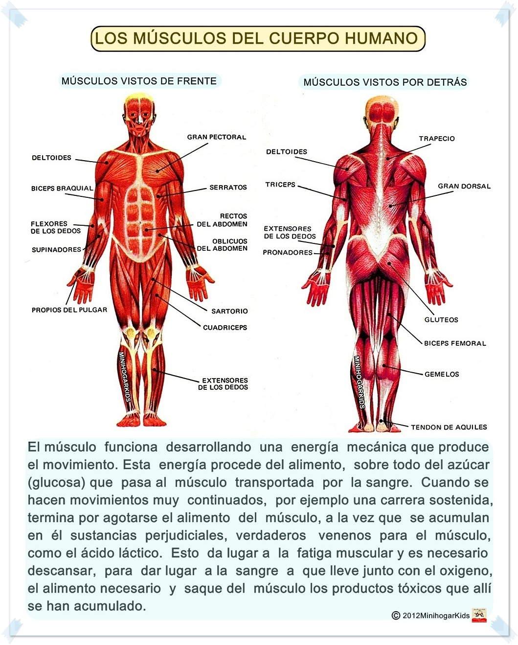 Increíble Esqueleto Humano Con Los Músculos Molde - Imágenes de ...
