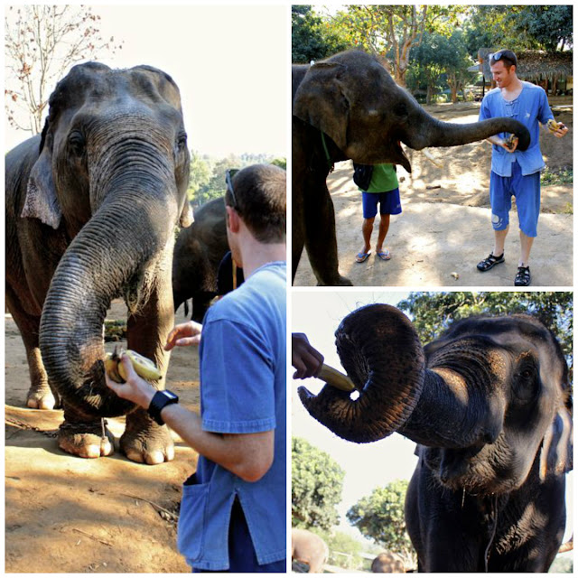 feeding elephants at baan chang elephant park in chiang mai