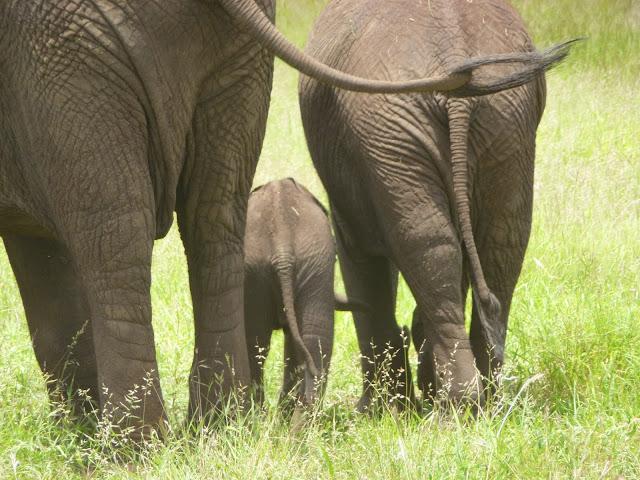 Al met al heel veel olifanten dus... Ten afscheid van ons verblijf in het Kruger bliezen ze met hun lange snuit al onze reisverhalen uit en toonden ons terstond... hun geweldig indrukwekkende k....