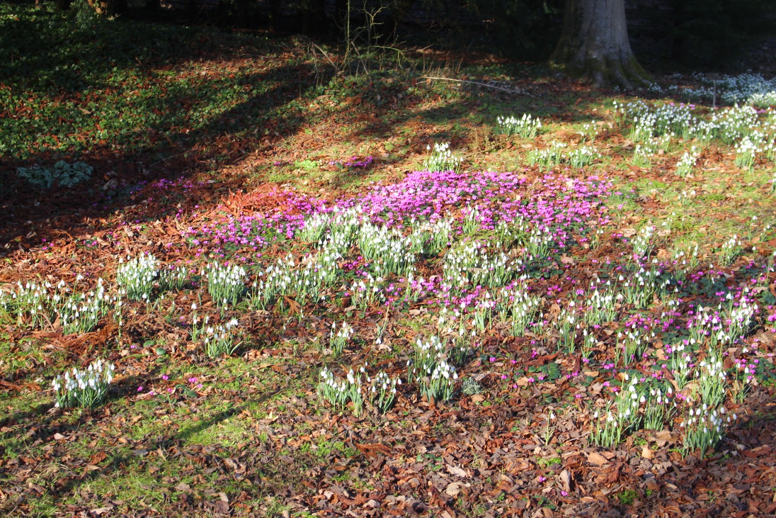 Snowdrops and cyclamen