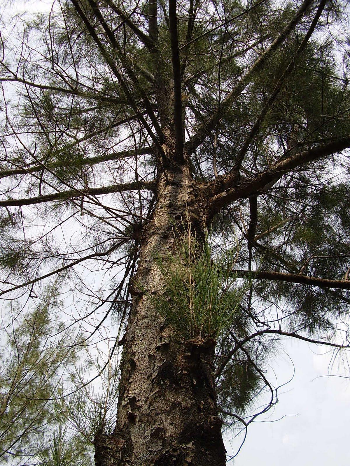 The Biggest Plant Dictionary Casuarina Equisetifolia