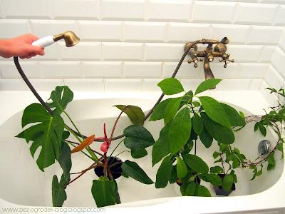 Mycie kwiatów w wannie by usunąć kurz