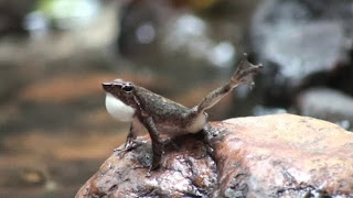 Dancing frog species