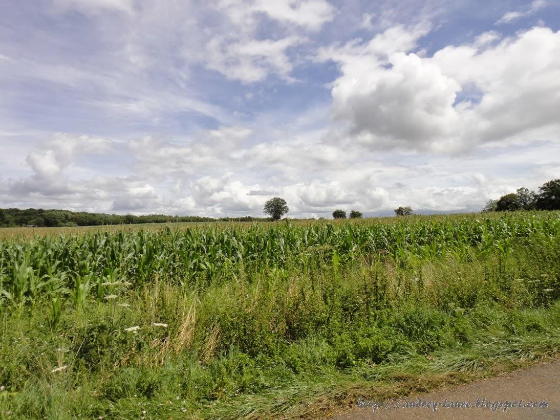 champ de Maïs bourgogne