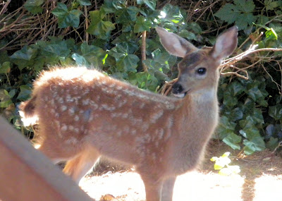 photo of deer in Rockaway Beach Oregon