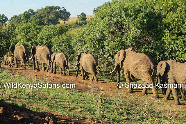 Wild Kenya Safaris, Elephants, Wildlife Kenya, Governors Camp, Olumara Camp