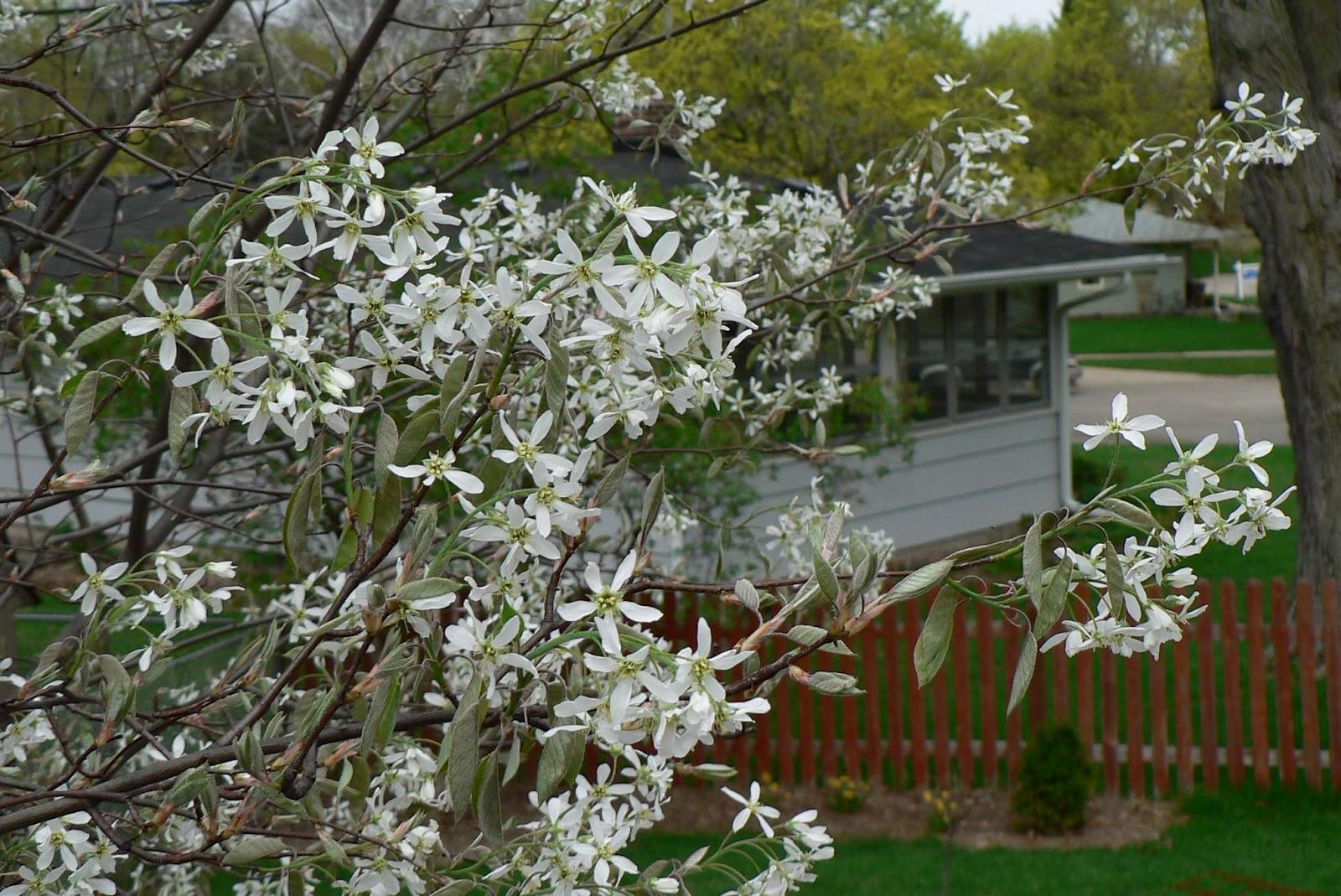 Visit my garden spring flowering trees amelanchier serviceberry flowers mightylinksfo