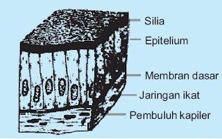 jaringan Epitelium silindris selapis bersilia