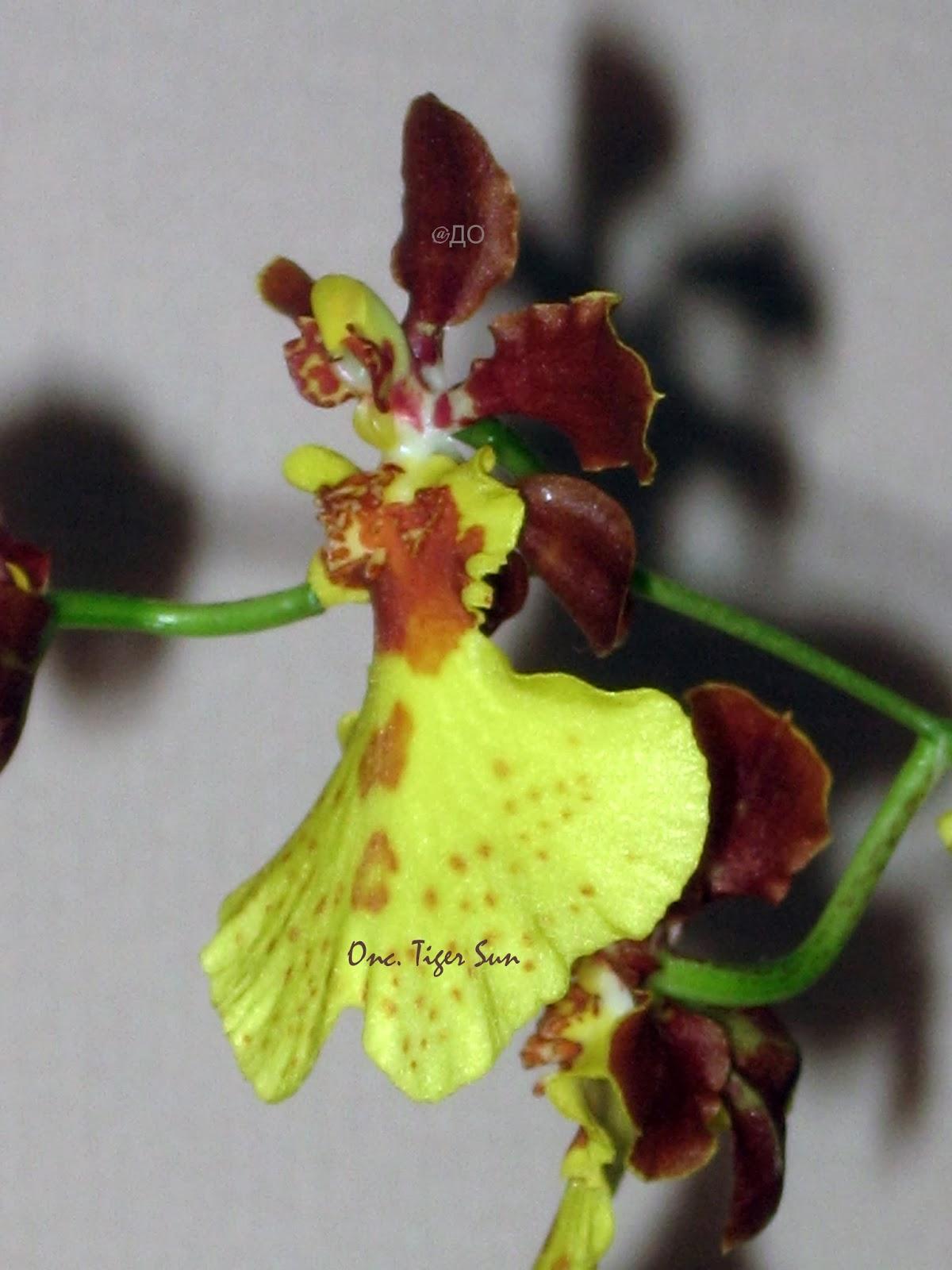 Oncidium Tiger Sun - цветок в профиль