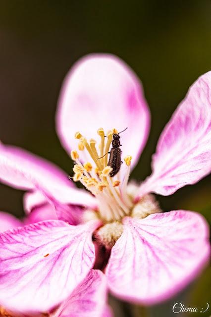 Flor del manzano y un insecto alimentándose
