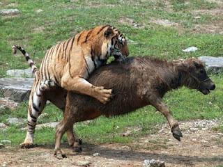 Sexo salvaje africano muestra en el bosque