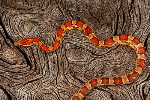 05 corn snake Kanapaha Mac Stone Amazing Colorful Snakes   Most Beautiful Venomous Snakes of the World