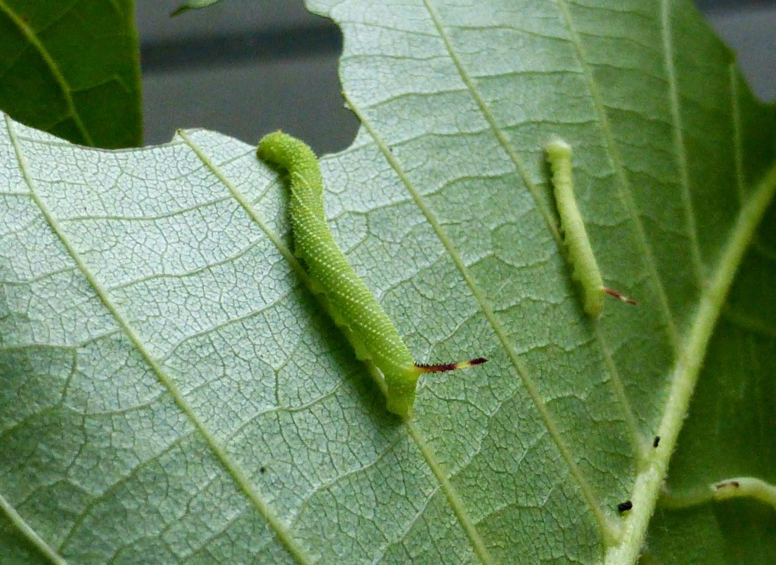 Phyllosphingia dissimilis caterpillar L2