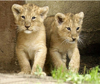 baby_lions_cute_image