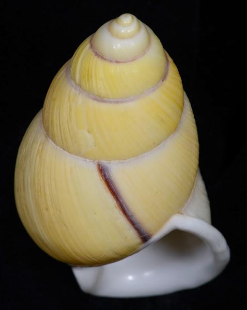 Amphidromus palaceus palaceus 57.24mm