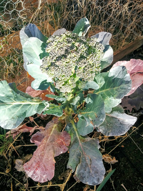 broccoli flower, new gardener blog, busy mom's blog